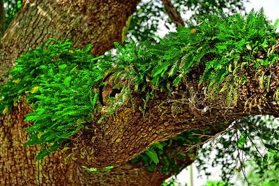 Banyan Tree, Coconut Grove, Florida