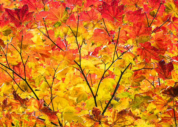 Red and Yellow Fall Leaves