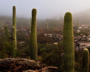 #66  Saguaro Mist, Catalina Mountains, AZ