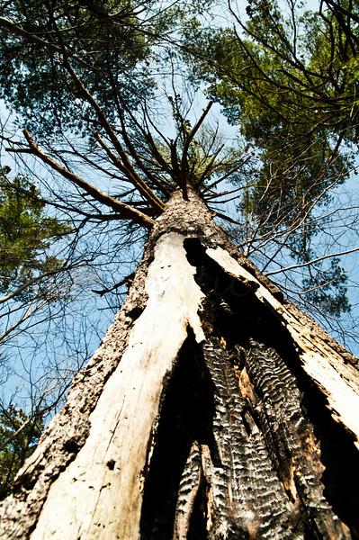 Burnt hollow tree