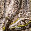 114  G Oak Tree