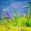 59  G Grass Widow Water