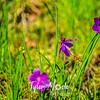 55  G Grass Widow Bee
