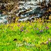 76  G Grass Widows and Water