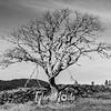 47  G Tree BW