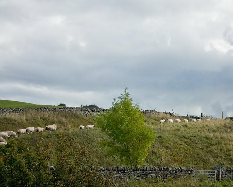 Taking the sheep home; Langdon Beck