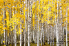 Kebler Pass Aspen Grove<br /> Time of day:  Morning, 3 hours after sunrise<br /> September 24, 2012<br /> <br /> Photographing aspens is actually more involved than I initially thought.  I thought, just point the camera at the scene with adequate shutter speed and aperture and, Bamm, you're done.<br /> <br /> Not quite.  And trust me, I'm a long way from being a master at this, but it's good to have a grove that you can actually see through instead of the dark dense forest often found.  This seems to give the scene a lighter more cheerful feeling.  And, even better if you can see blue sky through the grove since the colors yellow and blue are complimentary.  You should also be close enough that you don't need a telephoto lens which can cause the scene to collapse onto one plane; if you are close enough to use a normal lens, the distance to the various trees is better reflected in the image.<br /> <br /> All this I learned after shooting literally hundreds of these shots one week in the Colorado high country and studying the resulting disappointing images.<br /> <br /> I'm not sure why I find this image compelling but it seems to have most of the qualities mentioned above, although more blue wouldn't hurt.<br />   <br /> This is a lovely image of a bright aspen grove at peak fall color.<br /> <br /> A polarizer was used in this image.