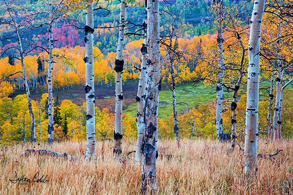"Colorful Hillside<br /> Manti-La Sal National Forest, Utah<br /> Morning, 1.5 hours after sunrise (raining)<br /> September 27, 2014<br /> <br /> Casse and I took a fall photo drive this year beginning in the Salt Lake City area.  Northern Utah, which is known for it's ""reds"" seemed to be a bit off this year.  The reds didn't develop and the aspens seemed a rather dull shade of yellow.  So we left the area earlier than planned and headed toward Southwestern Colorado. <br />  <br /> So on a rainy late September morning while en route to Durango from Salt Lake City we took a leisurely detour through the Manti-La Sal National Forest.<br /> <br /> Somewhat surprised at the beauty of the general area, the plan was simply to get a shot of Electric Lake from an elevated site.  This proved to be a bust after a wrong turn.  But there was so much more to see that our little detour was extended a bit.<br /> <br /> We found ourselves on Skyline Drive; rainy, muddy and beautiful.  Apparently a huntsman's paradise too since we only encountered hunters, no other photographers.<br /> <br /> I like the simplicity of this image with its wonderful background.<br /> <br /> No filters were used in this shot."