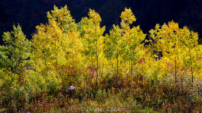 "Aspens and Light<br /> Maroon Creek Road, Colorado<br /> Time of Day:  late morning, 3 ½ hours after sunrise<br /> September 30, 2013<br /> <br /> I joined the throng of photographers at Maroon Lake at dawn to shoot Maroon Belles.  I sort of promised my daughter that I would shoot Maroon Belles if it did not interfere with any other plans and since the aspens were turning late elsewhere in Colorado this year, I really had nothing better to do.  <br /> <br /> As we waited for sunrise, which was a dud, a group of us enjoyed visiting (a guy from Nebraska, another from Vegas, and a lady from San Diego).  After the sun came up, we kept hanging out talking and comparing notes for a couple of hours until finally my feet got cold and I had to bug out.<br /> <br /> On the way out on Maroon Creek Road I spied these backlit aspens with a shaded hillside behind.  So I got busy shooting quickly for fear the light would change.  Not to worry, the scene stayed similarly lit for about 20 minutes.<br /> <br /> Oh, but for the shots that I get while travelling to or from another potential shot. What's that line in that old John Lennon song, ""Life is what happens while we're busy making other plans.""<br /> <br /> I just love the contrasting yellow and blues (caused by the shaded hillside in the background) here.  Simple elegance.<br /> <br /> A polarizer was used in this shot."