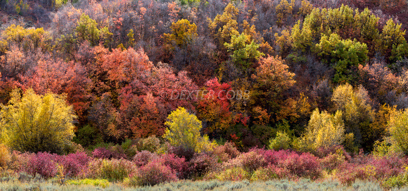 Near Ogden, Utah<br /> Cache National Forrest<br /> September 30, 2016 – mid morning<br /> <br /> Casse and I took a drive to the Salt Lake City area this fall in our usual quest for fall images.  Thanks to input from Marc Seawell who lives in the area, timing could not have been much better, although a storm 2 days prior did indeed dampen things a bit.<br /> <br /> I was struck by the colors on this hillside as we proceeded into the mountains east of Ogden.  It felt like the colors were pretty much all over the board here so I was pleased.  The light was a bit much initially so reshooting was necessary although the view was better the prior day since some of the plants lost their leaves overnight.  Still, I'm pleased with this image.<br /> <br /> I love the many small bushes here, each with their own unique color palate in a broad/wide scene. <br /> <br /> What a lovely, messy parade of colors.<br /> <br /> A 3 shot vertical pano with no filters.
