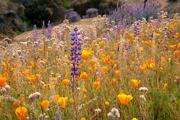 Millerton Wildflowers<br /> <br /> Time of day:  Evening  (1 hour before sunset)<br /> March 13, 2009<br /> <br /> I love the lupine bushes that grow in the wild.  I have spoken with a friend (who runs a nursery) about propagating some of these shrubs for my garden.  So far it has been one of these things we discuss but never get around to.  <br /> <br /> Besides, they look great for a couple of weeks in March but they don't do much for the rest of the year.  No repeat bloom here -- but what a bloom!<br /> <br /> This shot was taken looking downhill from Sky Harbor Road.  <br /> <br /> No filters were used in this shot although it was crucial to use a lens hood.