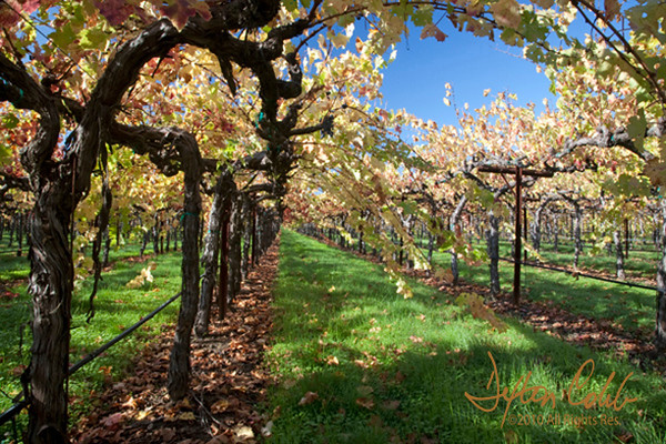 "Napa Valley Vineyard<br /> Time of day:  morning about 3 hours after sunrise<br /> November 8, 2009<br /> <br /> This shot was taken in a vineyard on the Oakville Crossroad in Napa Valley about 2 ½ hours after sunrise.  This was a second attempt since I tried to get this shot on the previous afternoon to no avail due to unforgiving afternoon light.<br /> <br /> We rushed from Santa Rosa to Napa Valley to shoot Pine Ridge Winery on Sunday morning.  But as is often the case, the sites along the way proved more rewarding than the goal.  See Pine Ridge Winery in springtime here:    <a href=""http://contador.smugmug.com/Landscapes/Central-California-Scenery/774689_nyyYJ#521952017_4xkuy-A-LB"">http://contador.smugmug.com/Landscapes/Central-California-Scenery/774689_nyyYJ#521952017_4xkuy-A-LB</a>.<br /> <br /> We passed this scene about seven miles short of the winery and made a note to return if possible before the light changed.  We zoomed over to Pine Ridge and got nothing so we quickly returned to this locale.<br /> <br /> I like this scene for some unknown reason.  Perhaps it's the grape canes draping across the scene like an arbor or the wonderful blue sky.  Or, maybe it's just the pleasing view.  For some reason, it just works for me.<br /> <br /> A polarizer was used in this shot."
