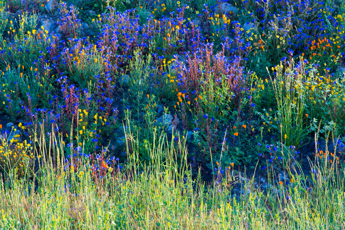 """Wildflowers in Morning Light <br /> Date:  April 28, 2012<br /> Time of Day:  Sunrise<br /> <br /> Over the past few weeks I have been making a trek to the foothills east of Fresno about half-way to Kings Canyon National Park in an effort to catch an image of the Valley below in splendid evening light.  The idea comes from a local photographer, Paul Mullins, who has a wonderful image made there called """"Saddleback Sunset.""""  See <a href=""""http://www.paulmullinsphoto.com/san-joaquin-river/"""">http://www.paulmullinsphoto.com/san-joaquin-river/</a>  for Mr. Mullins take on the area. <br />  <br /> Well that shot didn't come together for me this year; the grass in the foothills has now gone more brown than green.  To get a feeling for   what I was going for without success, see:  <a href=""""http://contador.smugmug.com/Landscapes/Misc-Practice-Shots/4643097_DkgtTV#!i=1851709009&k=4fCktST&lb=1&s=A"""">http://contador.smugmug.com/Landscapes/Misc-Practice-Shots/4643097_DkgtTV#!i=1851709009&k=4fCktST&lb=1&s=A</a><br />  <br /> But, as often happens, I spied this area on the drive there and watched it develop for the better over a couple of weeks.  Some photographers believe that we have missed the point if we simply re-shoot other successful images.  But I have found that some of my best photos were made """"while I was on the way"""" to re-shoot someone else' shot.  It gives me a reason to set out in that direction in the first place.  If nothing presents itself on the drive there, then I can always do the re-shoot.<br /> <br /> On my last run to the foothills before giving up on that shot for the year, I saw that this scene was ready.  So I gave it a go for a couple minutes in evening light and realized that morning light would likely be better.<br /> <br /> This is just a group of wildflowers along the roadside likely seeded by CalTrans upon completion of an upgrade to the roadway nearby.  The flowers are growing on an embankment making for a wonderful perspective.<br /> <br /> Works for"""