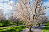 Fresno Blossom Trail – Near Sanger<br /> February 21, 2017<br /> Time of Day:  Early Evening, 1 hour before Sunset<br /> <br /> Around these parts they say an ammond is an almond that has lost it's L.<br /> <br /> Here in the Fresno area there's an abundance of fruit and nut trees available which put on a nice show each spring.  The challenge is finding an orchard with plenty of green cover between the rows to set it off.<br /> <br /> I stumbled onto this Almond orchard after driving around for about 3 hours on the Blossom Trail near Sanger.  The trees seemed to have the perfect spacing for geometrically pleasing compositions as well, unlike many others.  Many Farmers try to get as many trees in there as possible so the symmetry here is special.  A typical tree could have over 1,000 almonds growing and each nut must have its own blossom.  So flowers are plentiful during peak bloom.<br /> <br /> There was a break in the trees for access which leads to a bright and open feeling in the image.  To top it off, there is an orange grove across the street to the west which shelters the Almond orchard from the wind, extending the bloom period, notable in this particularly stormy and windy year.<br /> <br /> So like a kid in a candy store with a pocket full of money, I had a field day - returning several times under different skies.<br /> <br /> Of the several hundred images taken, I prefer this image for its overall color balance.  The trees have been pollenized and will soon green up so there is plenty of warm color.  <br /> <br /> This is simply a nice view of life here in the San Joaquin Valley in late Winter.<br /> <br /> Of course, next year when I return there may well be a fence of some kind blocking the space and a vineyard here.  If not, perhaps there will be a totally different feeling to the scene.<br /> <br /> You places your bets, and you takes your chances.<br /> <br /> No filters.