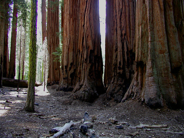 California Sequoias 2.