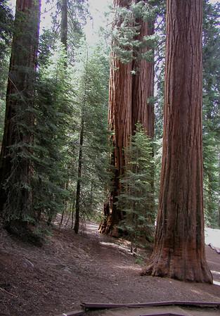 California Sequoias 3.