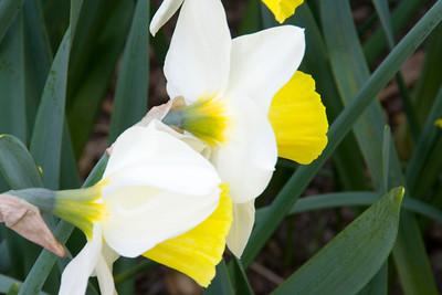 Conservatory Garden - White Petals/Yellow Bulb Center