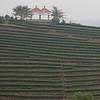 cha plantation-2