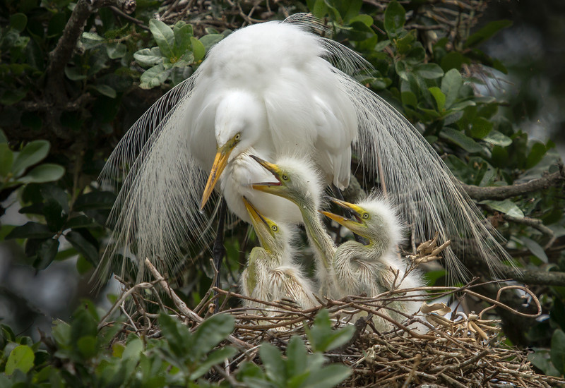 On the way up to Charleston we stopped over at the Alligator Farm Rookery.  This was the perfect nest to photography.  The mom was almost angle like....the chicks were just big enough to get some pretty good shots.