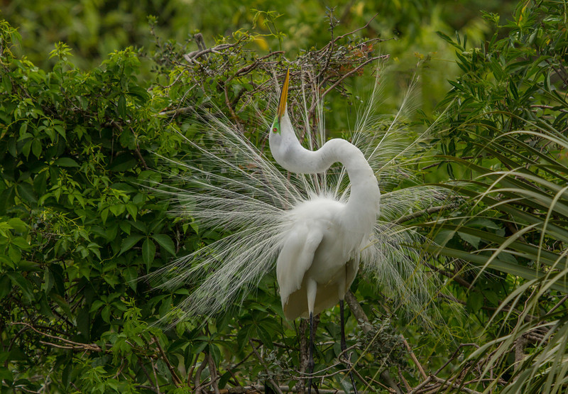 White Heron Displaying at the Alligator farm in St. Augustine.