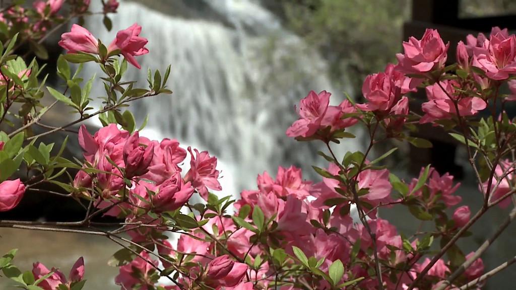 Video of Azaleas at Oconee County's Chau Ram Park