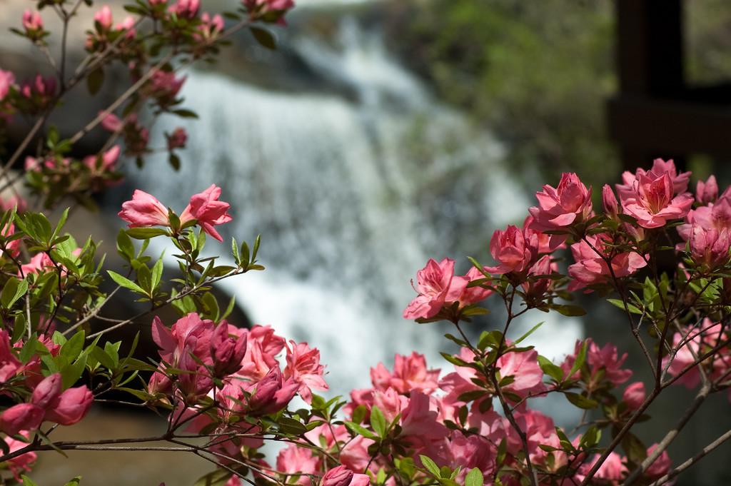 Azaleas at Oconee County's Chau Ram Park