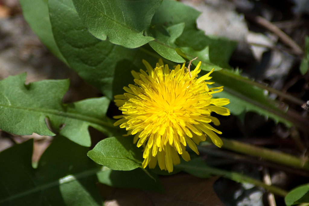 A dandelion at Oconee County's Chau Ram Park