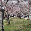 2013 Cherry Blossoms