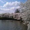 2012 Cherry Blossoms