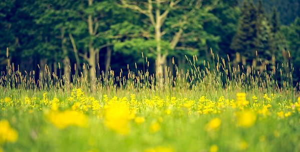 Coloradoan Flowery Meadow
