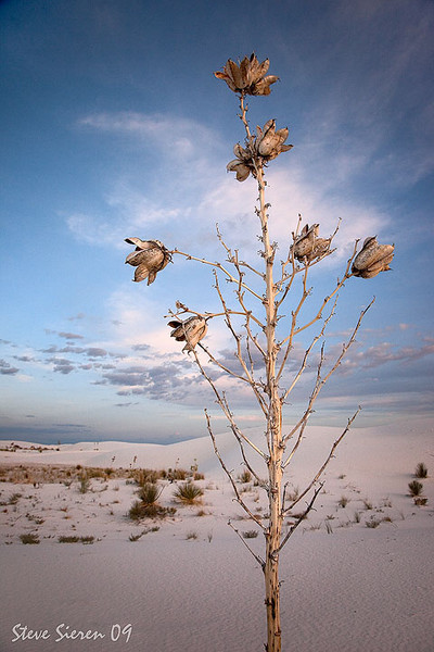 Soap Tree Pods