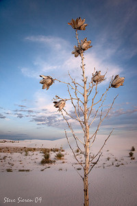 Soap Tree Pods White Sands New Mexico