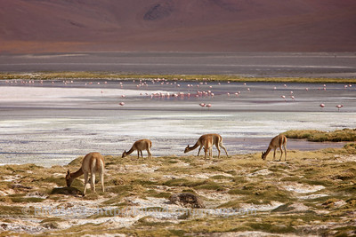 Vicunas and Laguna Colorada, Bolivian altiplano