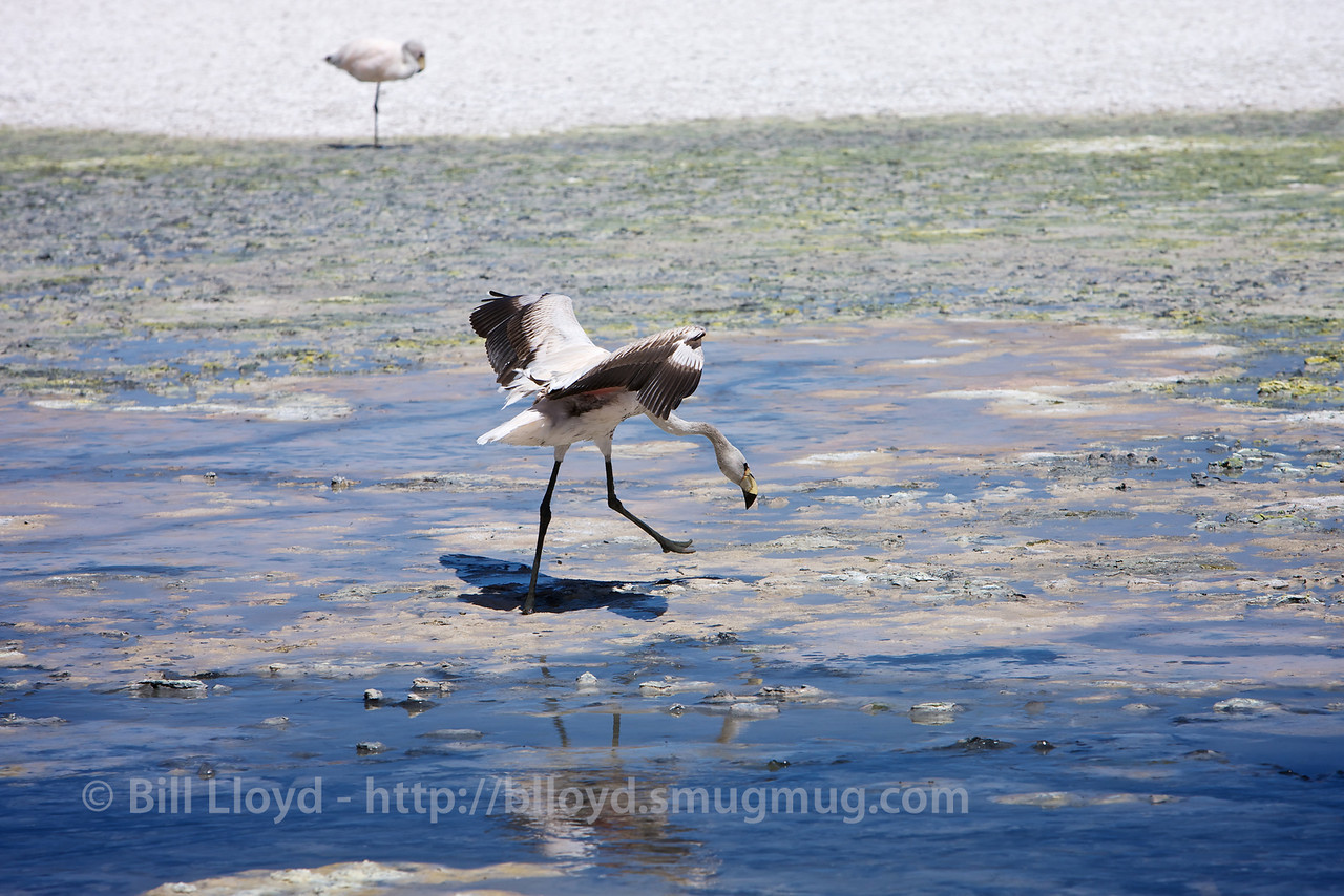 James Flamingo, Laguna Hedionda, Bolivian altiplano