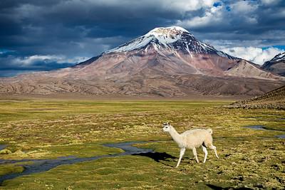 Llama walking through the field