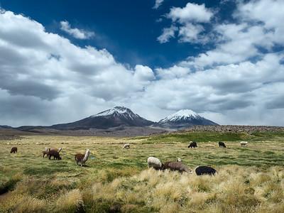 Llamas, Alpacas grazing in front of the volcanos