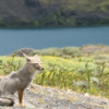 Grey fox relaxing in Torres Del Paine National Park.