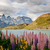 Stunning wildflowers abound in Torres Del Paine National Park, Chile.