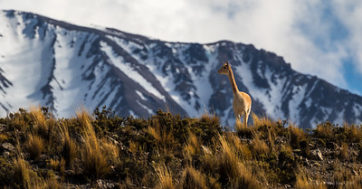 Vicuna on the ridge