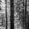 47  G Sunlight Trees BW V