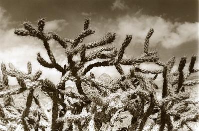 Cactussepia