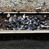 Pigeon Tracks