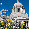 Blossom Trees Daffodils & Washington State Capitol