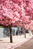 Cherry trees blooming on the streets of Hollywood.
