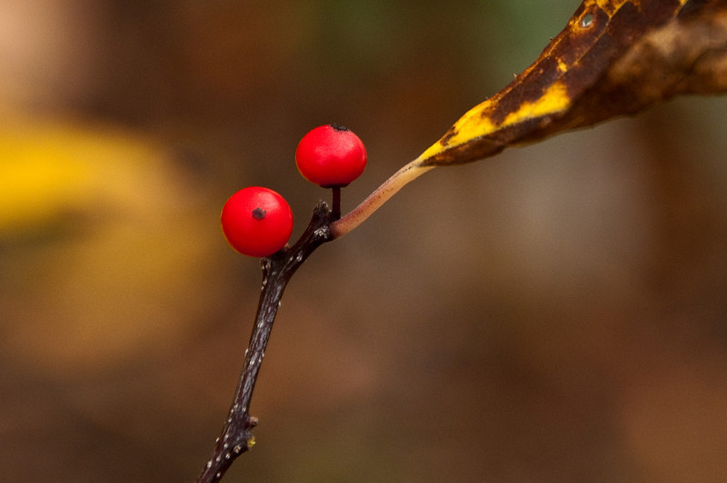 Red berry-foggy autumn morning. Hampton Road Cove, Clifton, Va.