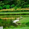 Swan Pond in Sackville, New Brunswick - 59