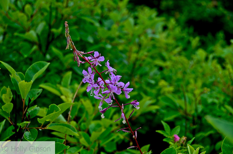 Fireweed in the rain - Acadia National Park - 37