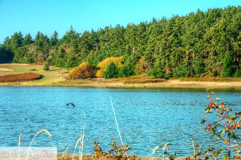 Heron flying over lake near Port Townsend, Washington