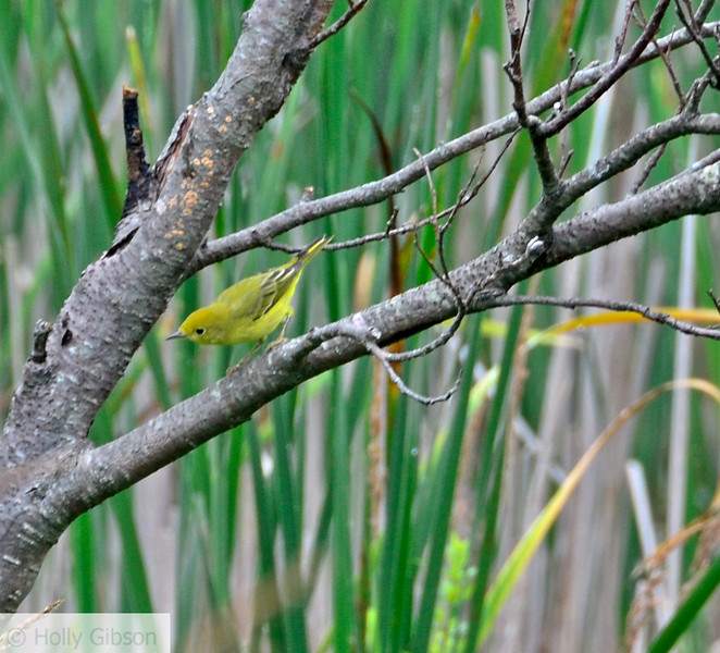 Yellow warbler at the waterfowl park - Sackville, New Brunswick - 63
