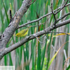 Yellow warbler at the waterfowl park - Sackville, New Brunswick - 63